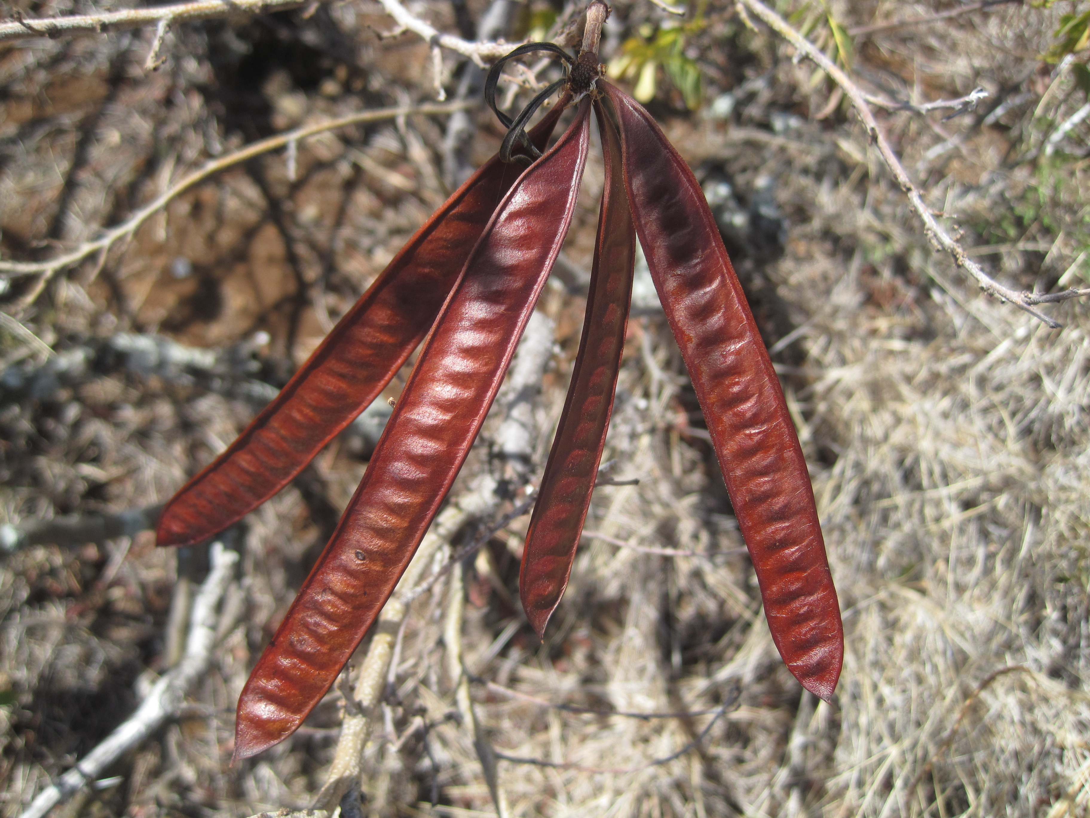 Seed pods of a widespread invasive species: hale koa